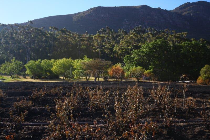 绿色山包围的烧毁的葡萄园 免版税库存图片