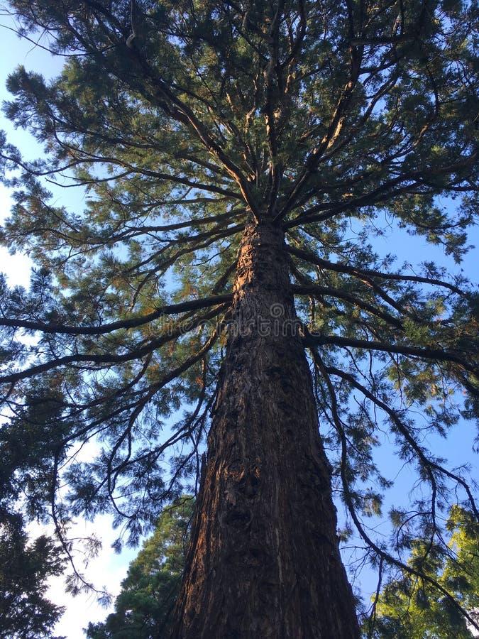 绿色巨型美国加州红杉 图库摄影