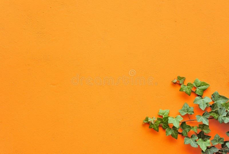 绿色常春藤小树枝墙壁 免版税库存照片
