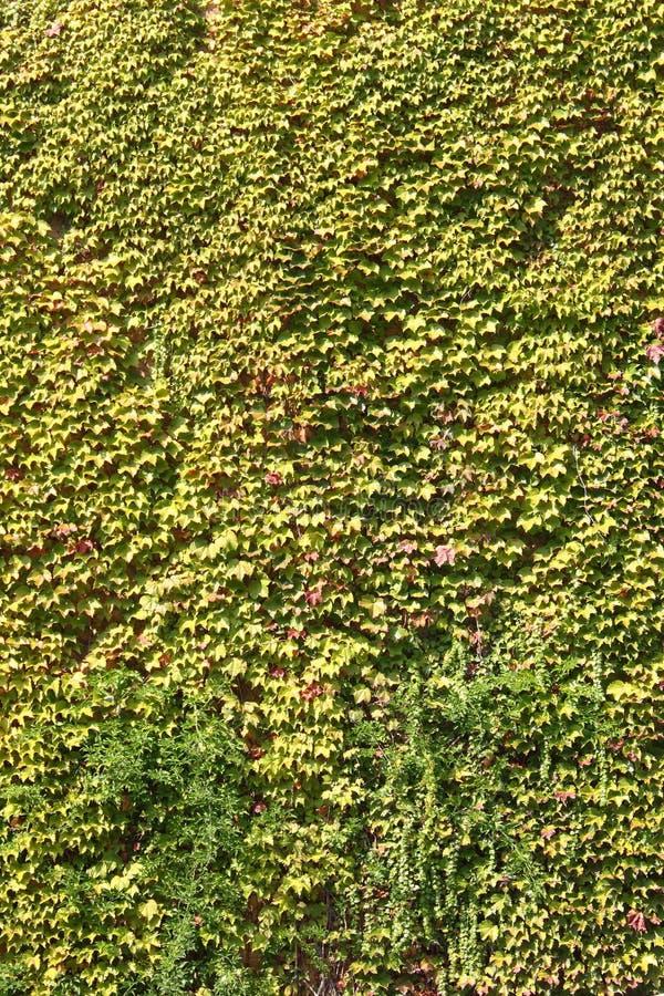 绿色常春藤留下墙壁 免版税库存照片