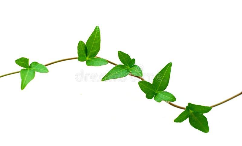 绿色常春藤白色 库存照片
