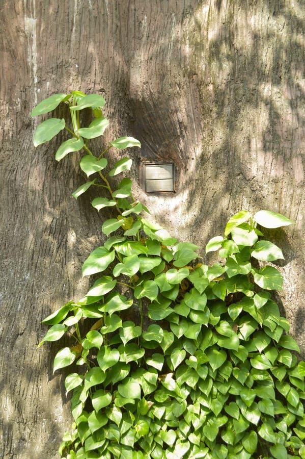 绿色常绿藤本植物aureum叶子在自然庭院里 图库摄影