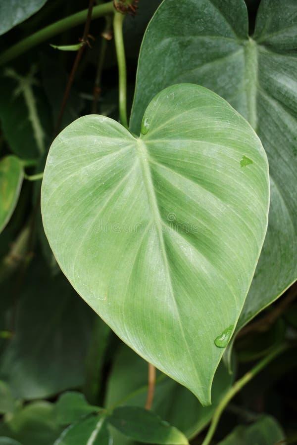 绿色常绿藤本植物aureum叶子在自然庭院里 库存图片