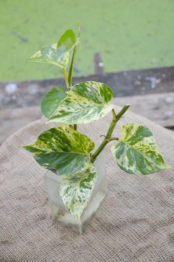 绿色常绿藤本植物aureum植物 免版税库存照片
