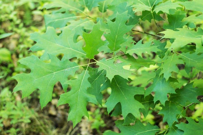 绿色年轻橡木叶子和分支  免版税库存照片