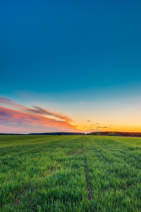 绿色年轻麦子风景在春天领域的在风景夏天下 库存图片