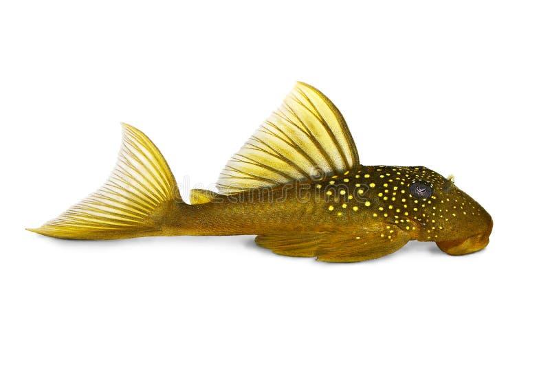 绿色幽灵pleco L200 Hemiancistrus subviridis水族馆鱼 免版税图库摄影