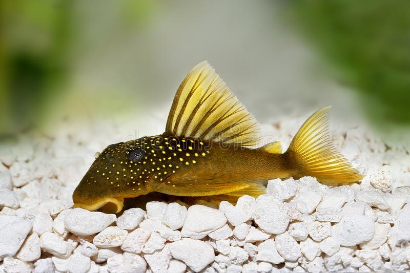 绿色幽灵pleco L200 Hemiancistrus subviridis水族馆鱼 库存图片