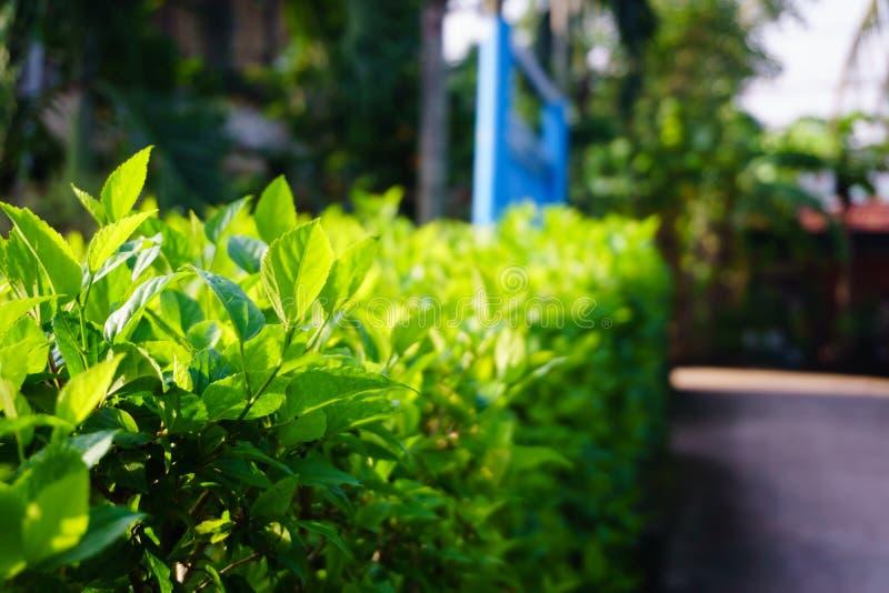 绿色庭院树篱在西贡 免版税图库摄影