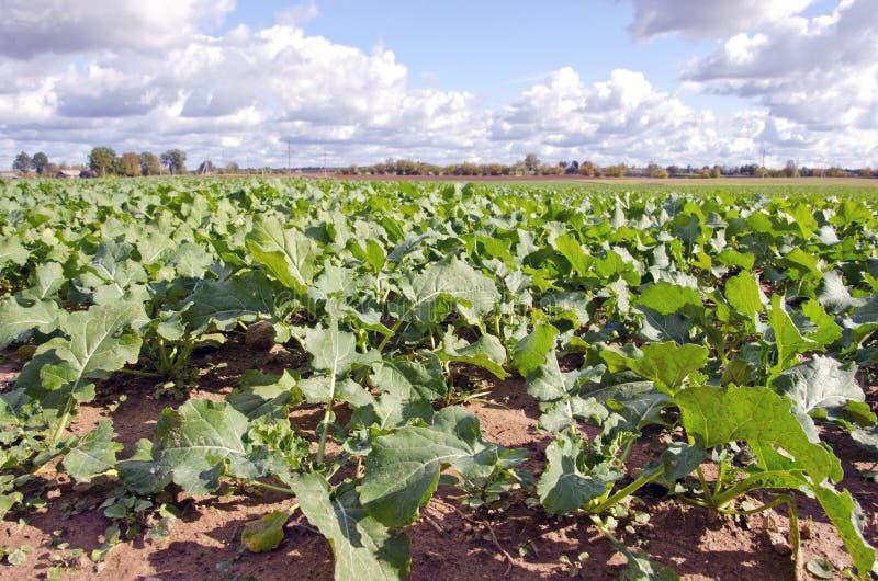 绿色强奸油菜籽农业域在秋天 免版税库存照片