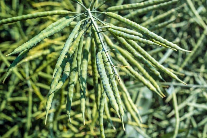 绿色强奸荚,充塞用豆,在stal的醉汉 图库摄影