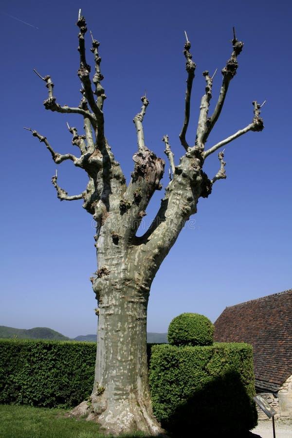 绿色悬铃树 库存图片