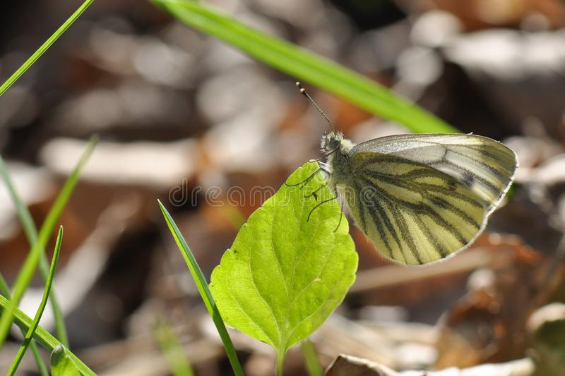 绿色成脉络的白色皮利斯napi蝴蝶 库存图片