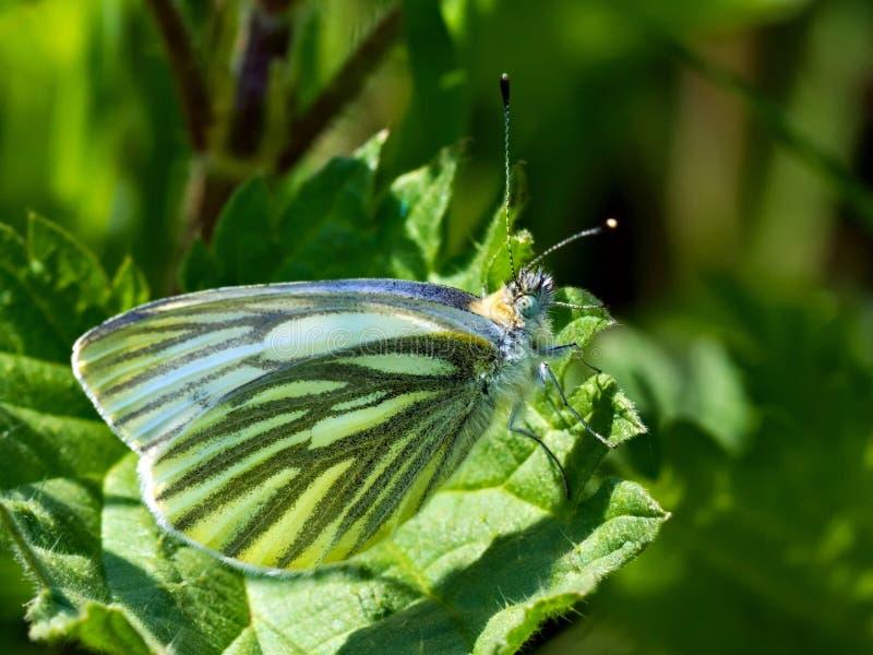绿色成脉络的白色,皮利斯napi -天蝴蝶的种类从Bielinkow家庭粉蝶科的 免版税库存照片