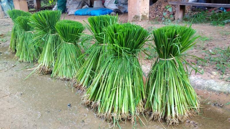 绿色捆泰国米 免版税图库摄影