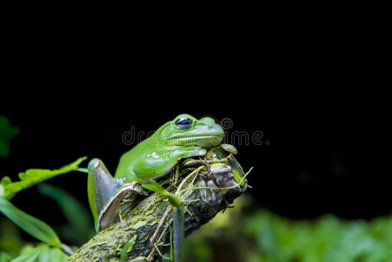 绿色攀爬在树干的树fron与在黑backg的绿色叶子 图库摄影