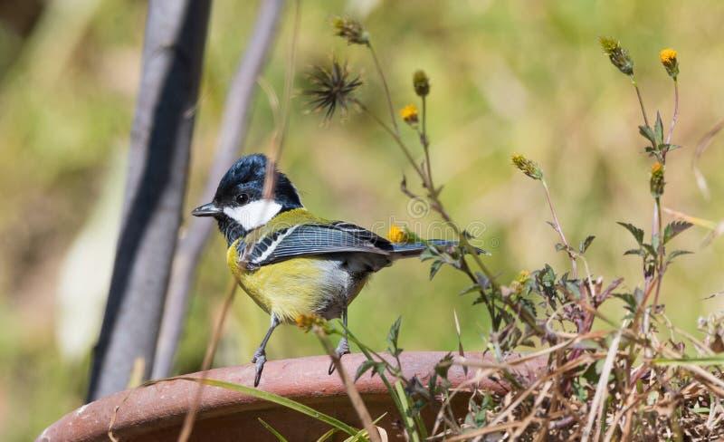 绿色支持的山雀鸟 免版税库存照片