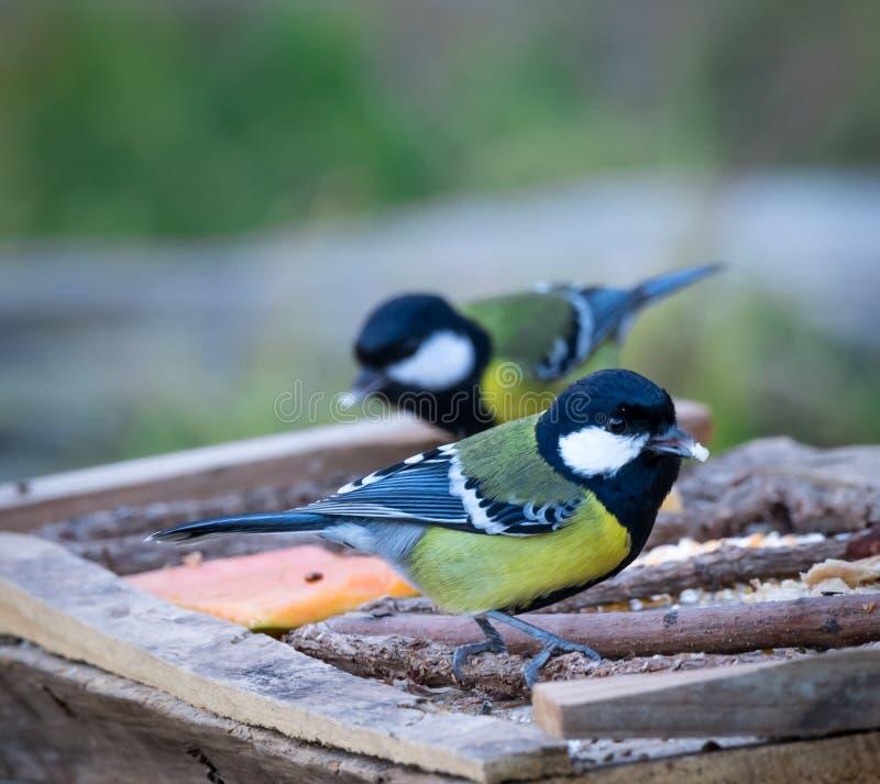 绿色支持的山雀鸟 免版税库存图片