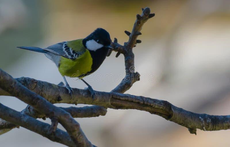 绿色支持的山雀鸟 库存图片