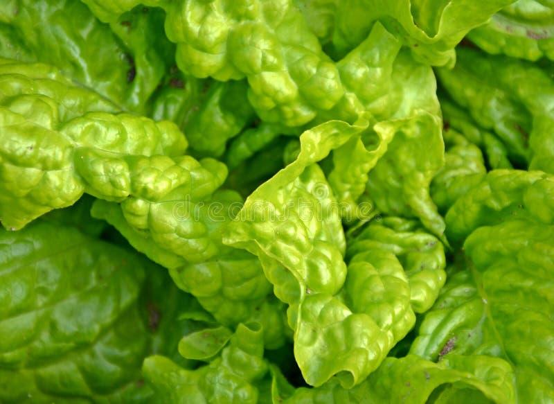 绿色散叶莴苣 免版税库存图片