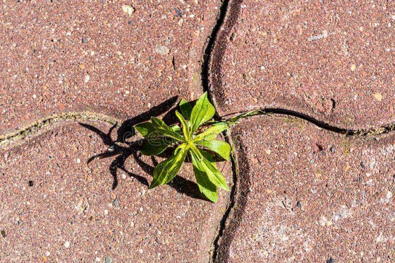 绿色新芽发芽在路瓦片之间 概念-反对自然的都市化 r 免版税库存图片
