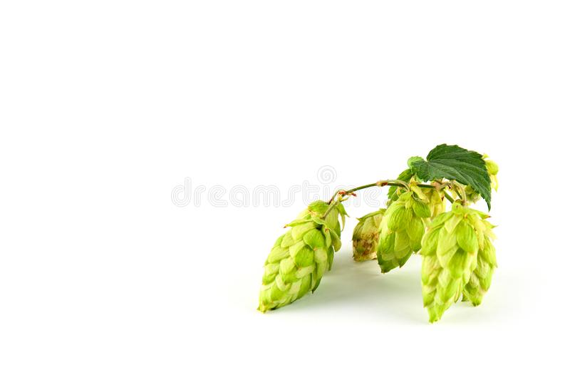 绿色新鲜的啤酒花球果树 免版税库存图片