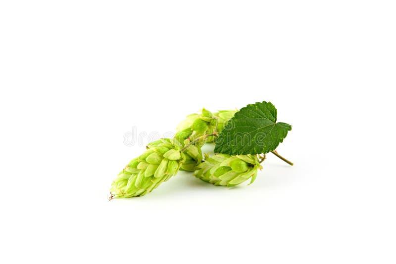绿色新鲜的啤酒花球果树 库存照片