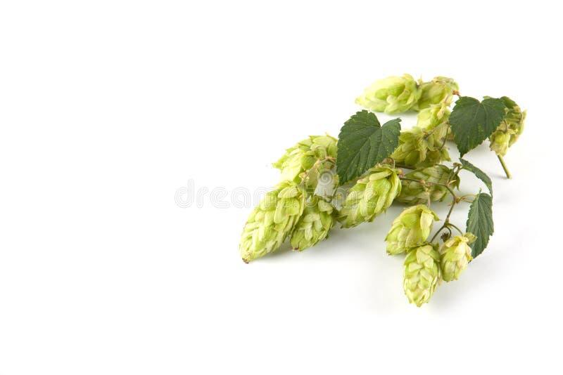绿色新鲜的啤酒花球果树 免版税库存照片