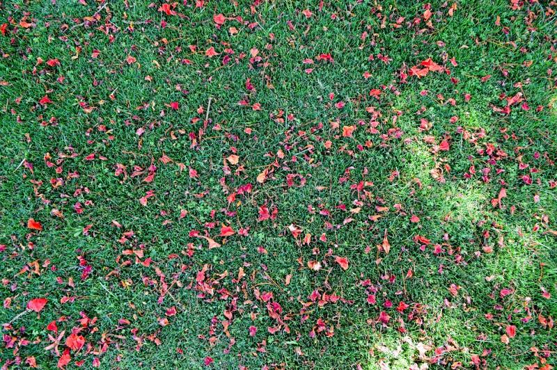 绿色新鲜的被割的被整理的光滑的自然明亮的草、英国草坪领域和疏散瓣红色花纹理  背景 库存图片