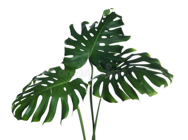 绿色新鲜的monstera叶子 热带植物 库存照片