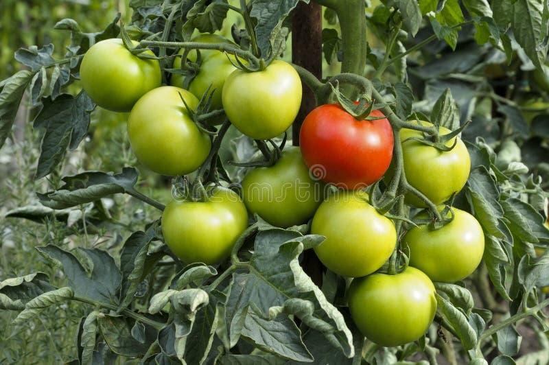 绿色有机蕃茄 库存图片
