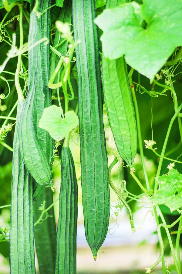 绿色有角度的金瓜或Luffa acutangula roxb 垂悬在有机蔬菜农场,自然样式背景的小组 库存图片