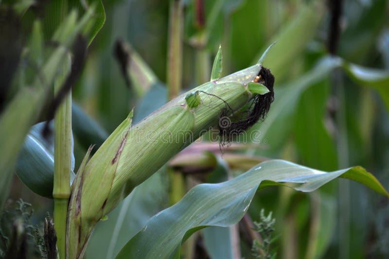 绿色未稀释的玉米片 免版税库存照片