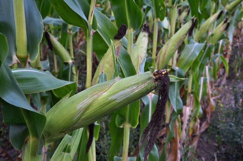 绿色未稀释的玉米片 免版税图库摄影