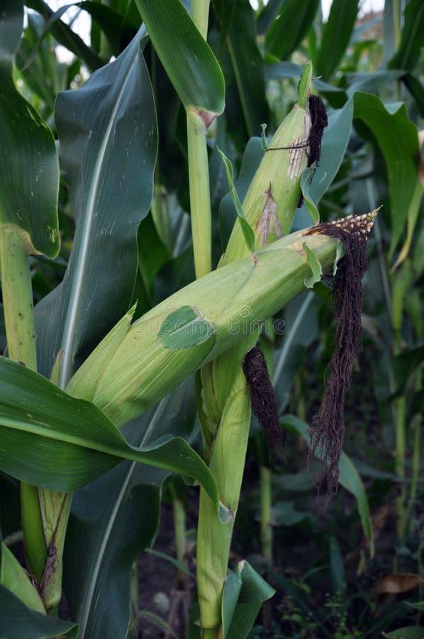 绿色未稀释的玉米片 库存图片