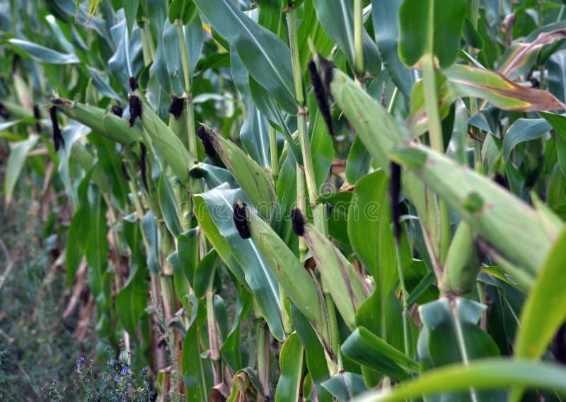绿色未稀释的玉米片 免版税库存图片