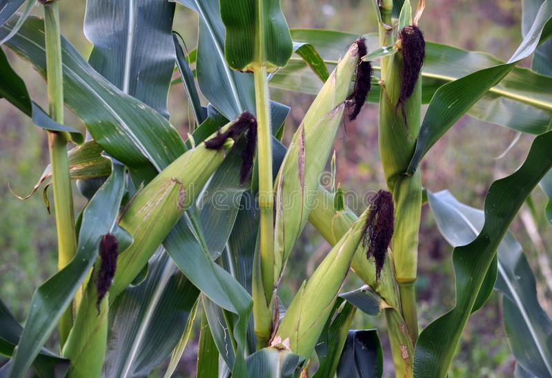 绿色未稀释的玉米片 库存照片