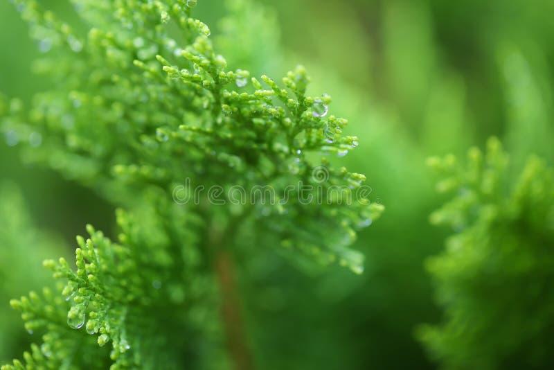 绿色杉木分支,与大露珠的杉木针宏指令与雨下落的在雨以后 免版税库存照片