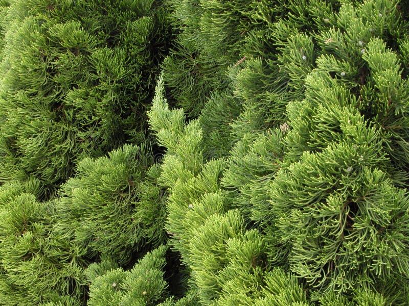 绿色杉木纹理 库存图片