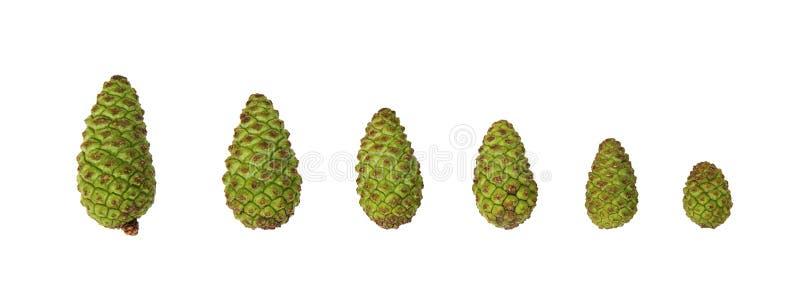 绿色杉木锥体的许多大小,隔绝在白色背景 免版税库存图片