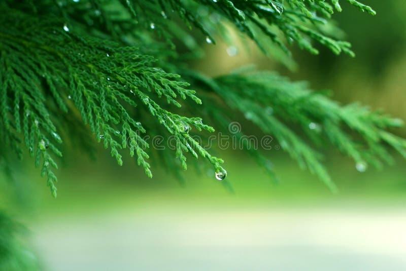 绿色杉木 免版税库存照片