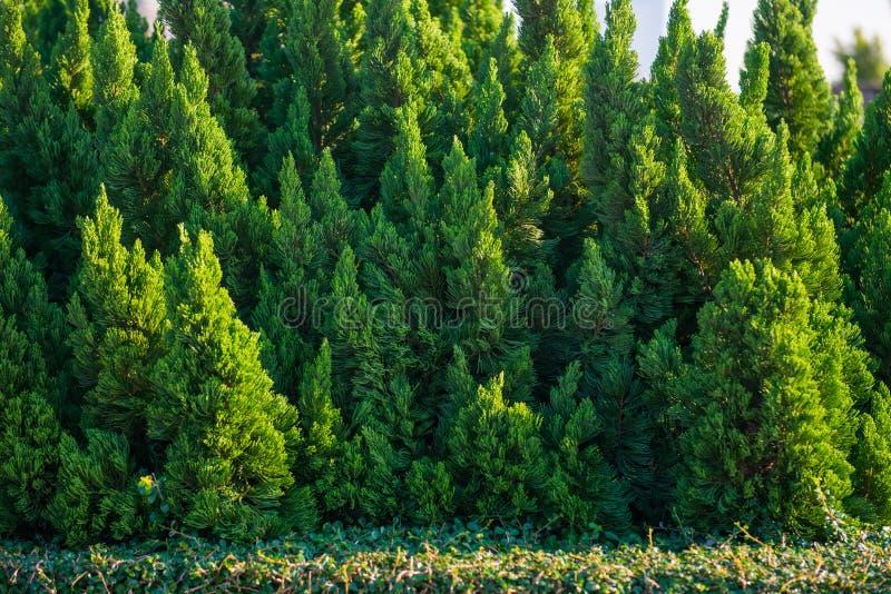 绿色杉树在庭院里 免版税库存图片