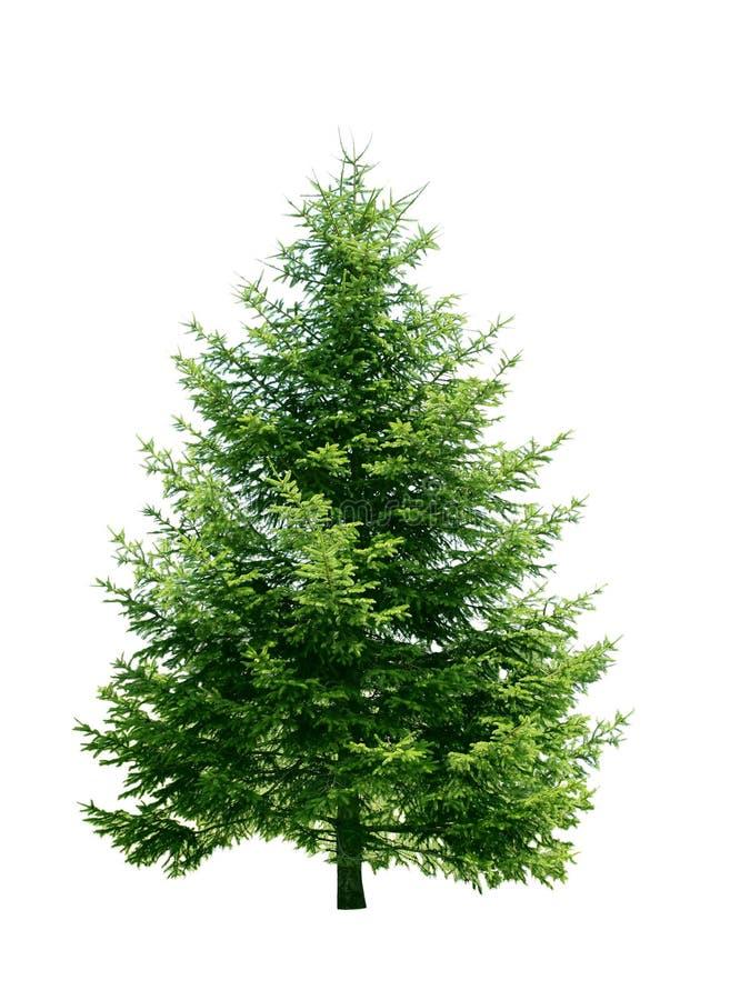 绿色杉树 库存照片