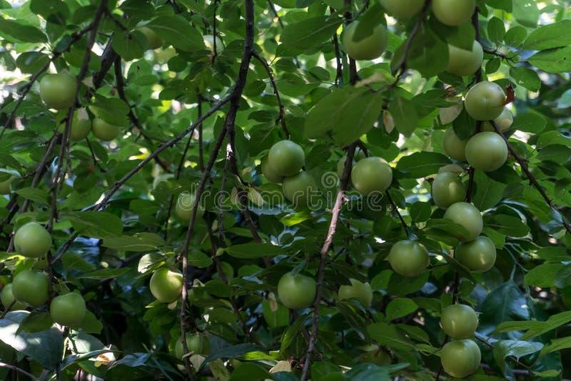 绿色李子或青李子在洋李灌木 免版税库存图片