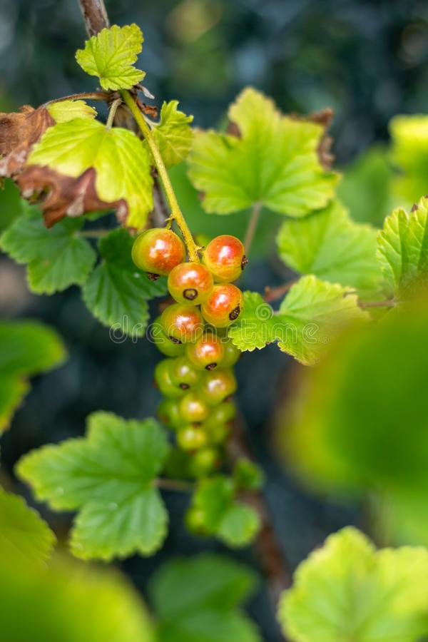 绿色束的鹅莓红色和 库存图片