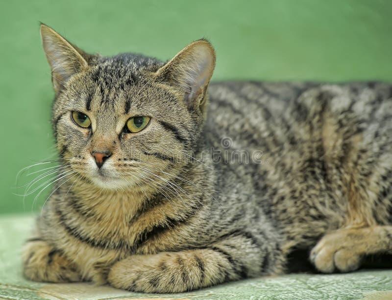 绿色条纹欧洲短毛猫 免版税库存图片