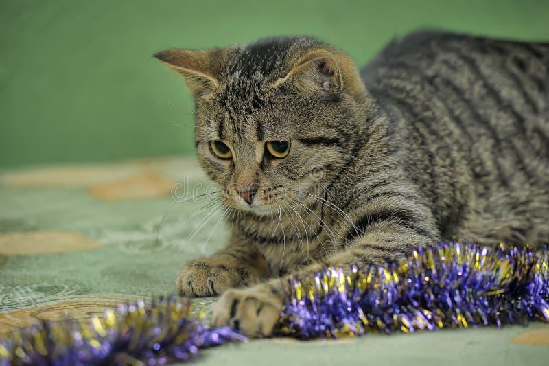 绿色条纹欧洲短毛猫 免版税库存照片