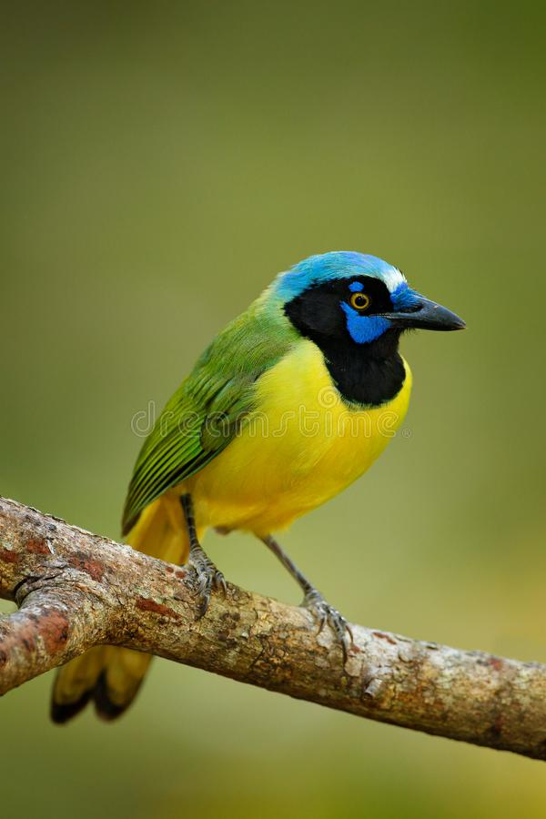 绿色杰伊, Cyanocorax yncas,狂放的自然,伯利兹 从中央Anemerica的美丽的鸟 鸟的监视人在伯利兹 杰伊坐Th 库存图片
