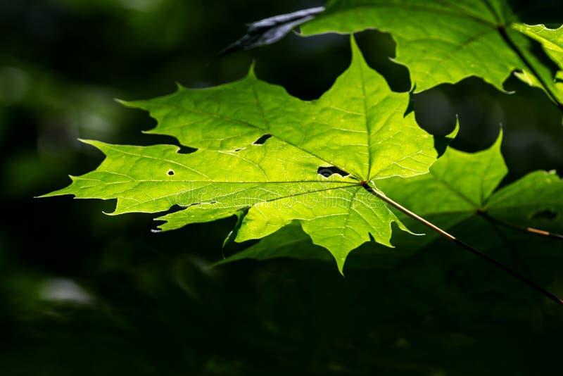 绿色枫叶在阳光下 免版税库存照片