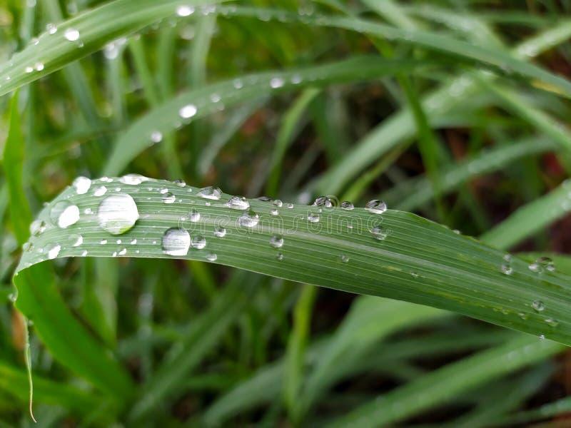 绿色柠檬香茅叶子下落在雨季 库存照片